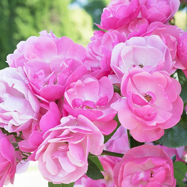 香りの成分にはダマスクローズの花から抽出したエッセンシャルオイルを使用しています。