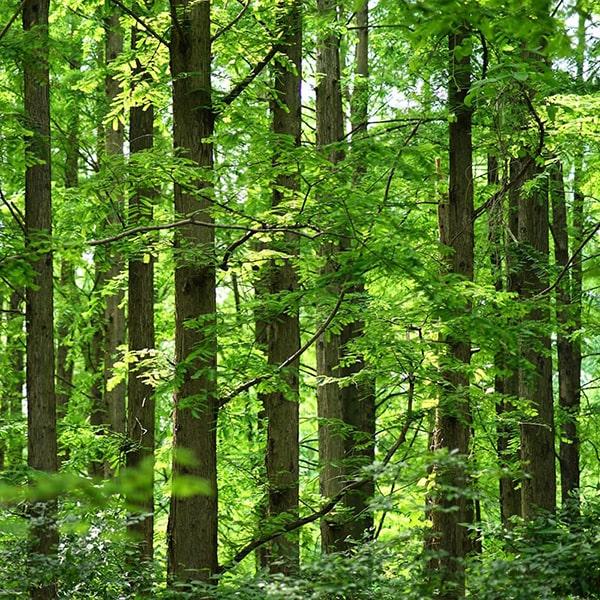 香りの成分には京都産ひのきの木部から抽出したエッセンシャルオイルだけを使用しています。