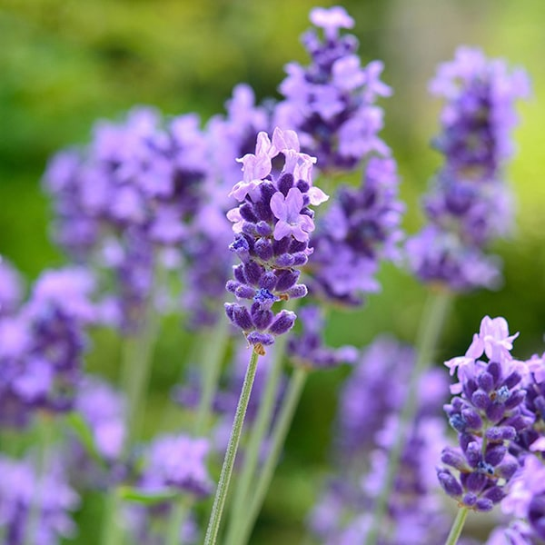 香りの成分には真正ラベンダー(ラベンダー・ファイン)から抽出したエッセンシャルオイルだけを使用しています。
