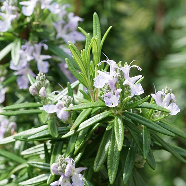 昼間のリフレッシュをサポートする「昼のローズマリー」は、香りの成分にローズマリー・シネオールのエッセンシャルオイルを使用しています。